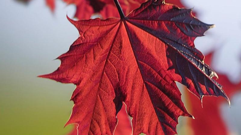 Maple trees offer most protection from harmful UV