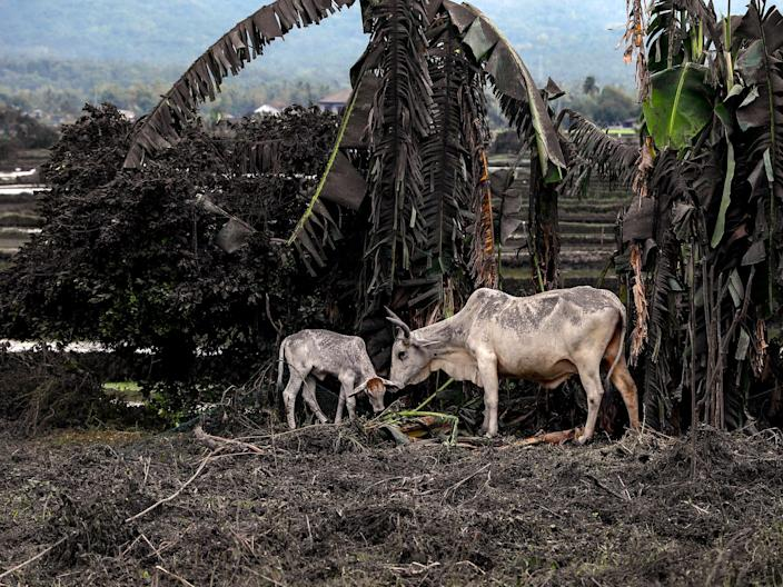 Cows covered in ashes in Philippines volcano .JPG