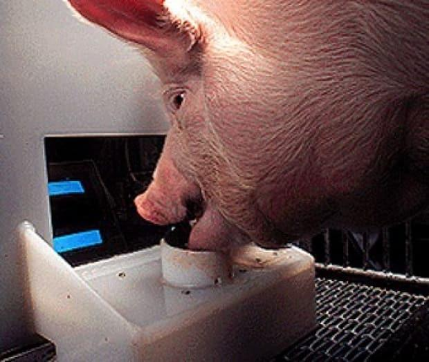 Hamlet the pig uses his mouth to skillfully manoeuvre the controls.