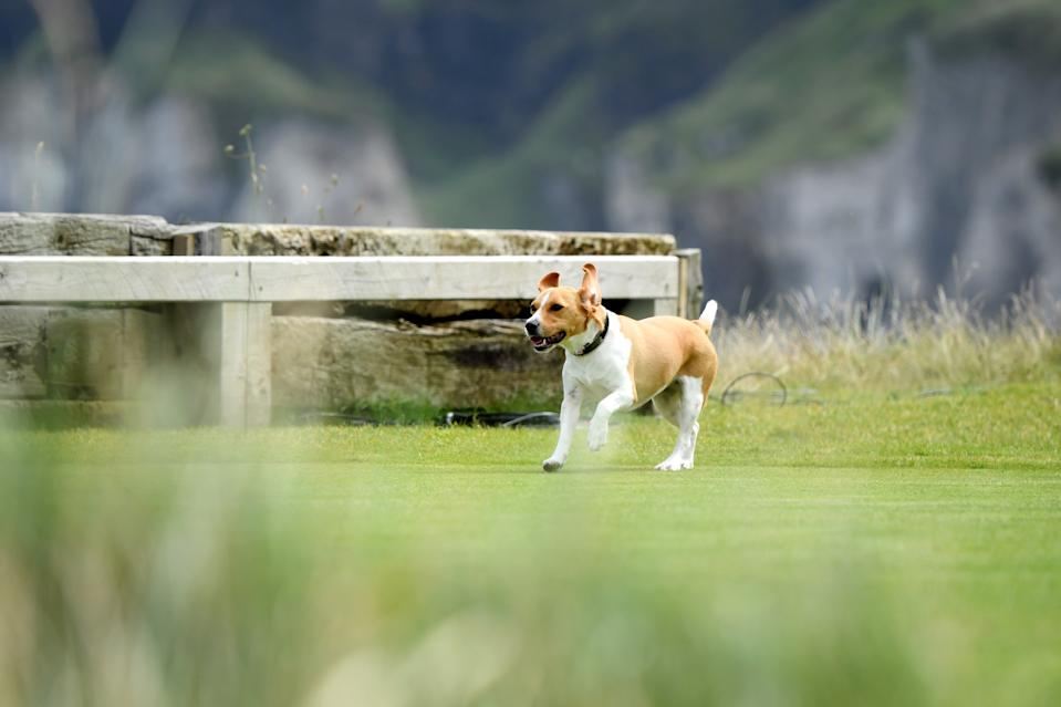 A dog runs on to the sixth tee box during the first round of the 148th Open Championship held on the Dunluce Links at Royal Portrush Golf Club on July 18, 2019 in Portrush, United Kingdom. (Photo by Matthew Lewis/R&A/R&A via Getty Images)