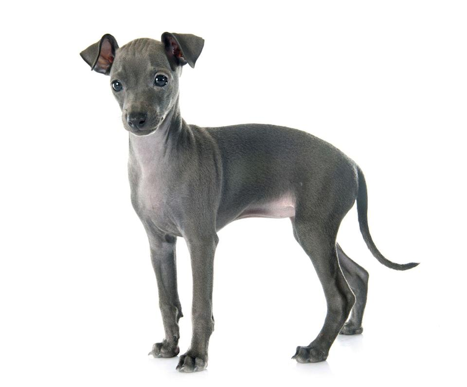 """<p><em>Modern Dog</em> magazine says that the <a href=""""https://moderndogmagazine.com/articles/whats-difference-between-greyhound-and-italian-greyhound/44976"""" rel=""""nofollow noopener"""" target=""""_blank"""" data-ylk=""""slk:Italian Greyhound is a much smaller relative"""" class=""""link rapid-noclick-resp"""">Italian Greyhound is a much smaller relative</a> of the Greyhound, which can weigh up to 70 pounds. By contrast, the slender Italian Greyhounds stand a little over a foot tall and weigh just eight to 18 pounds. Some famous Italian Greyhounds include <a href=""""https://www.teenvogue.com/gallery/kylie-jenner-dogs-pets"""" rel=""""nofollow noopener"""" target=""""_blank"""" data-ylk=""""slk:Kylie Jenner's pups Norman and Bambi"""" class=""""link rapid-noclick-resp"""">Kylie Jenner's pups Norman and Bambi</a> and <a href=""""https://www.youtube.com/watch?v=O-TsHz9rw6E"""" rel=""""nofollow noopener"""" target=""""_blank"""" data-ylk=""""slk:YouTuber Jenna Marbles' dog Kermit"""" class=""""link rapid-noclick-resp"""">YouTuber Jenna Marbles' dog Kermit</a>.</p>"""