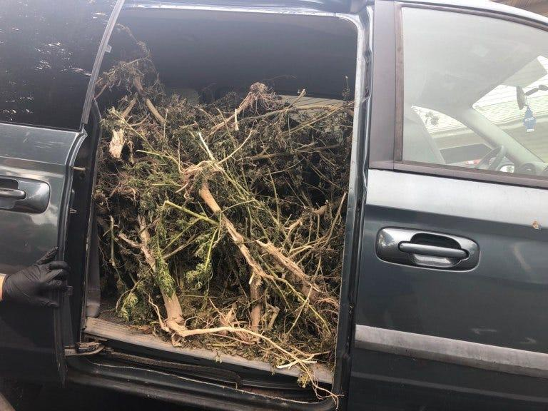 Man caught driving a stolen van stuffed with 131 pounds of marijuana plants, police say