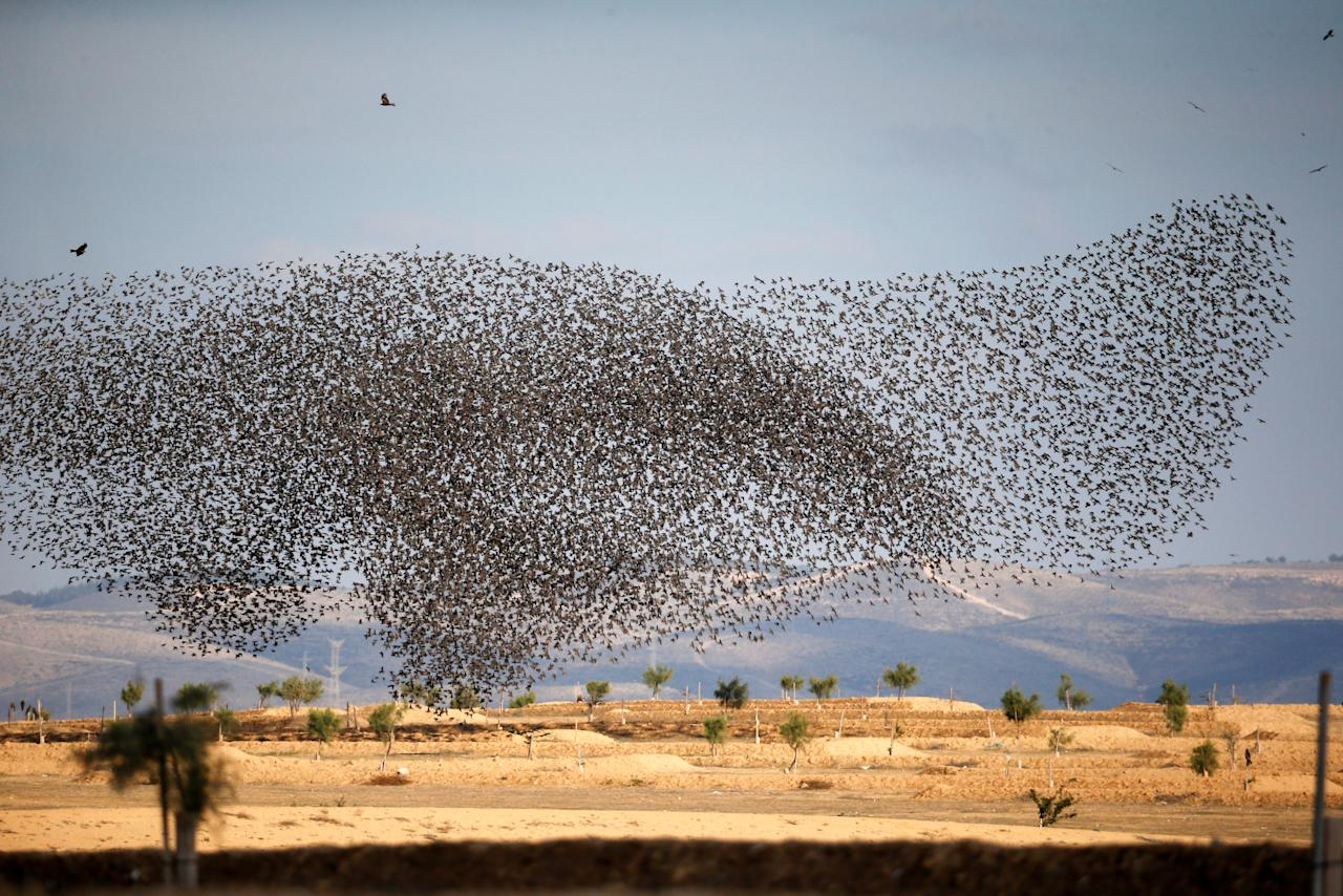A murmuration of migrating starlings is seen across the sky near the village of Beit Kama in southern Israel January 16, 2018. REUTERS/Ronen Zvulun