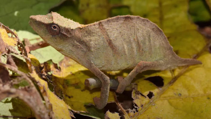 A Chapman's pygmy chameleon blending in with the green and brown branches and leaves around it.