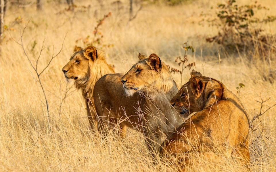 lions in zambia - Getty