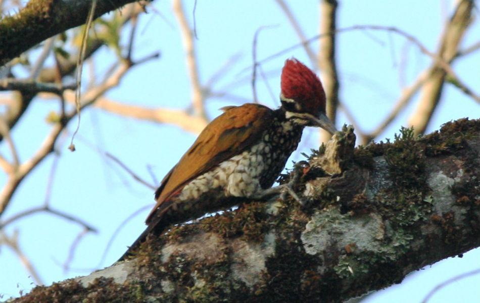 <b>Greater Flameback:</b> Flamebacks are woodpeckers so named for their fire-hued backs. Forever facing tree trunks, woodpeckers mostly have their brightly coloured backs to you.