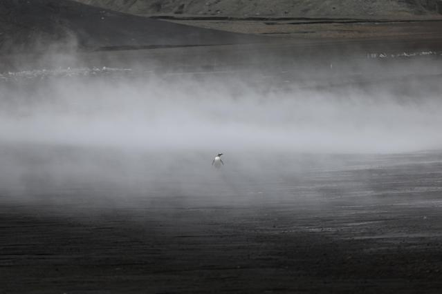 """A penguin walks through the geothermal fog on Deception Island, which is the caldera of an active volcano in Antarctica, February 17, 2018. REUTERS/Alexandre Meneghini SEARCH """"ANTARCTICA"""" FOR THIS STORY. SEARCH """"WIDER IMAGE"""" FOR ALL STORIES. TPX IMAGES OF THE DAY"""