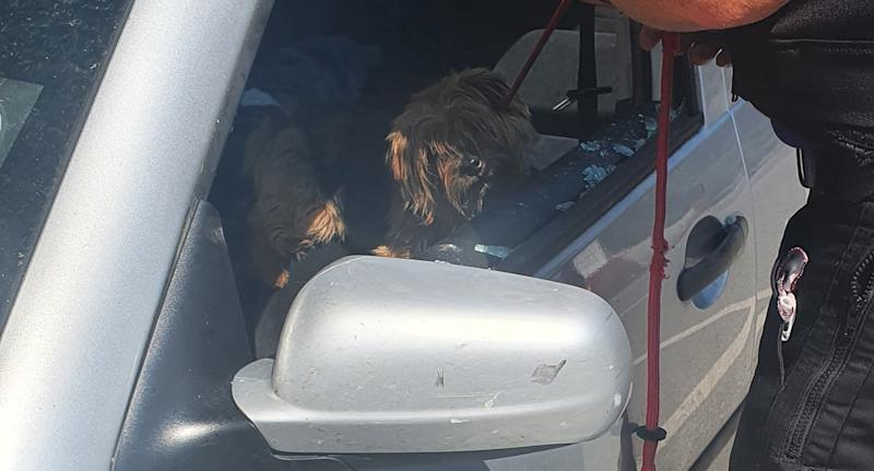 A terrier sits in a car with the window smashed.