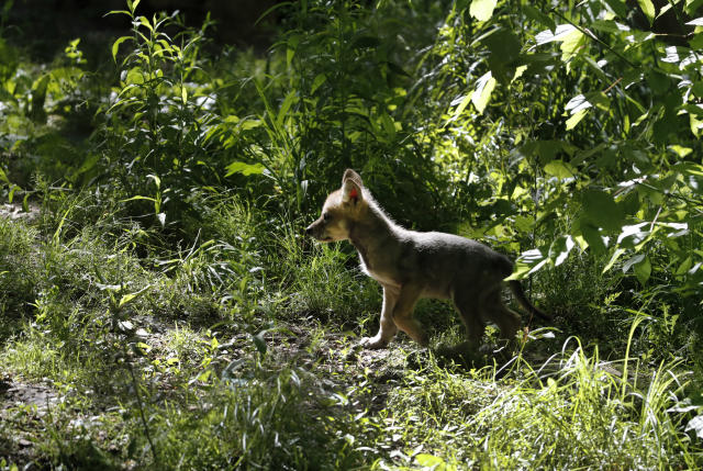 A 7-week-old Mexican gray wolf pup explores its surroundings at the Endangered Wolf Center Monday, May 20, 2019, in Eureka, Mo. The Mexican gray wolf recovery team hopes to double the number in the wild over several years. (AP Photo/Jeff Roberson)