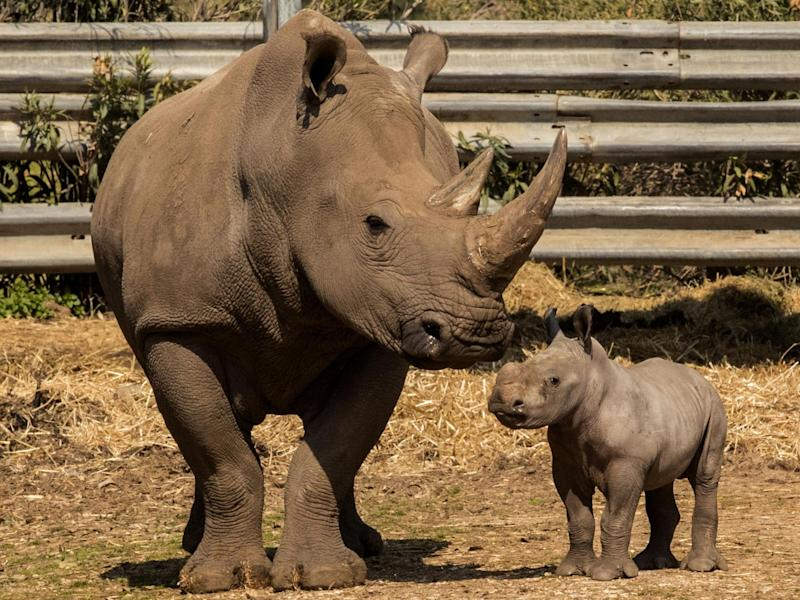 Rami, a two-week-old white rhinoceros, is pictured with his mother, eight-year-old Rihanna, on 6 February 2017: AFP/Getty Images