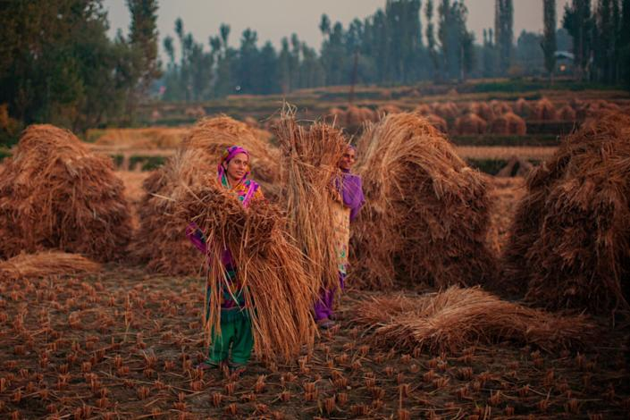 Kashmiri farmers tie lumps of grass to make hay bales in a paddy field during harvesting season. (Photo: Yawar Nazir/Getty Images)