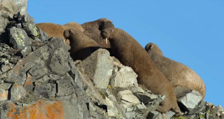 'Our Planet' creators watch as walruses precariously scale the sides of cliffs in northeast Russia