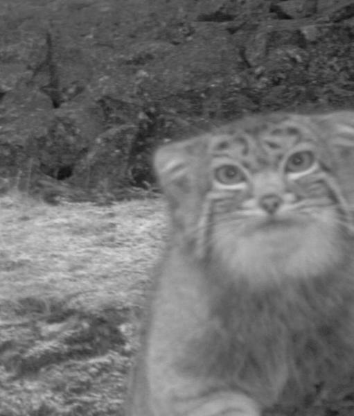 Here, kitty! The Pallas's cat comes in for it's camera-trap close-up.