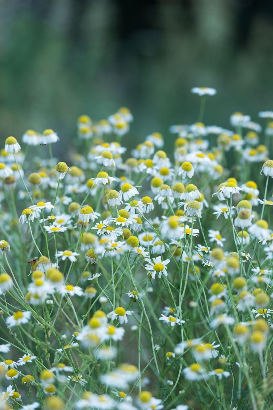 """<p>Chamomile produces pretty, daisy-like flowers which can be harvested, dried, and steeped in hot water to make tea. Look for Roman chamomile, which is a perennial, as opposed to German chamomile, which is an annual. Its feathery leaves also make it an attractive groundcover-like plant.</p><p><a class=""""link rapid-noclick-resp"""" href=""""https://go.redirectingat.com?id=74968X1596630&url=https%3A%2F%2Fwww.burpee.com%2Fherbs%2Fchamomile%2Fchamomile-roman-prod001077.html&sref=https%3A%2F%2Fwww.thepioneerwoman.com%2Fhome-lifestyle%2Fgardening%2Fg36533467%2Fbest-perennial-herbs%2F"""" rel=""""nofollow noopener"""" target=""""_blank"""" data-ylk=""""slk:SHOP NOW"""">SHOP NOW</a></p>"""