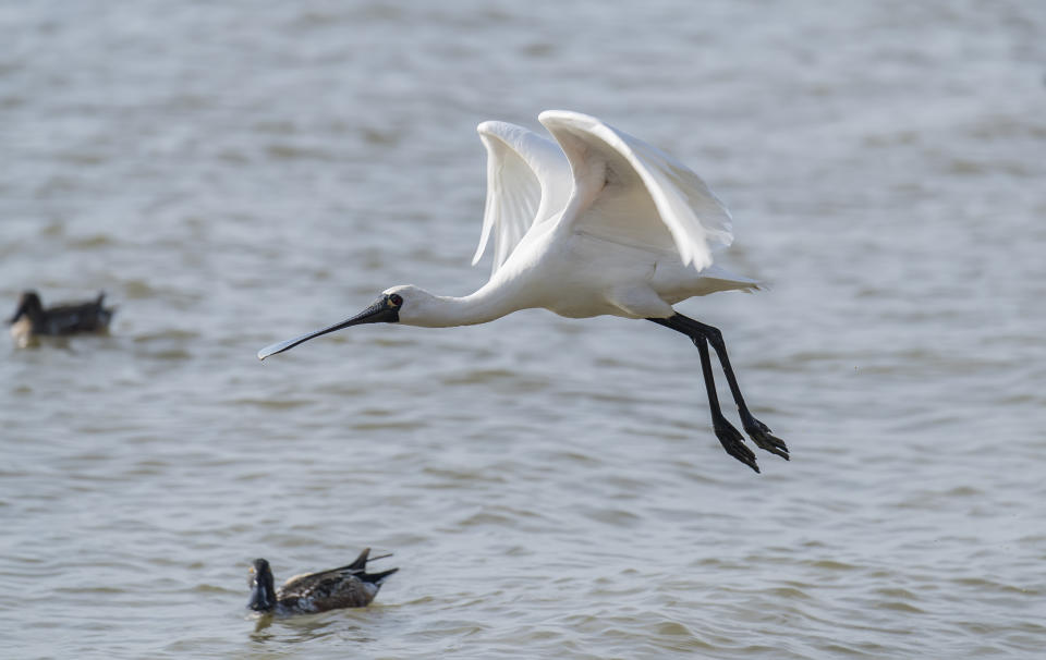 Black-faced Spoonbill in shenzhen China