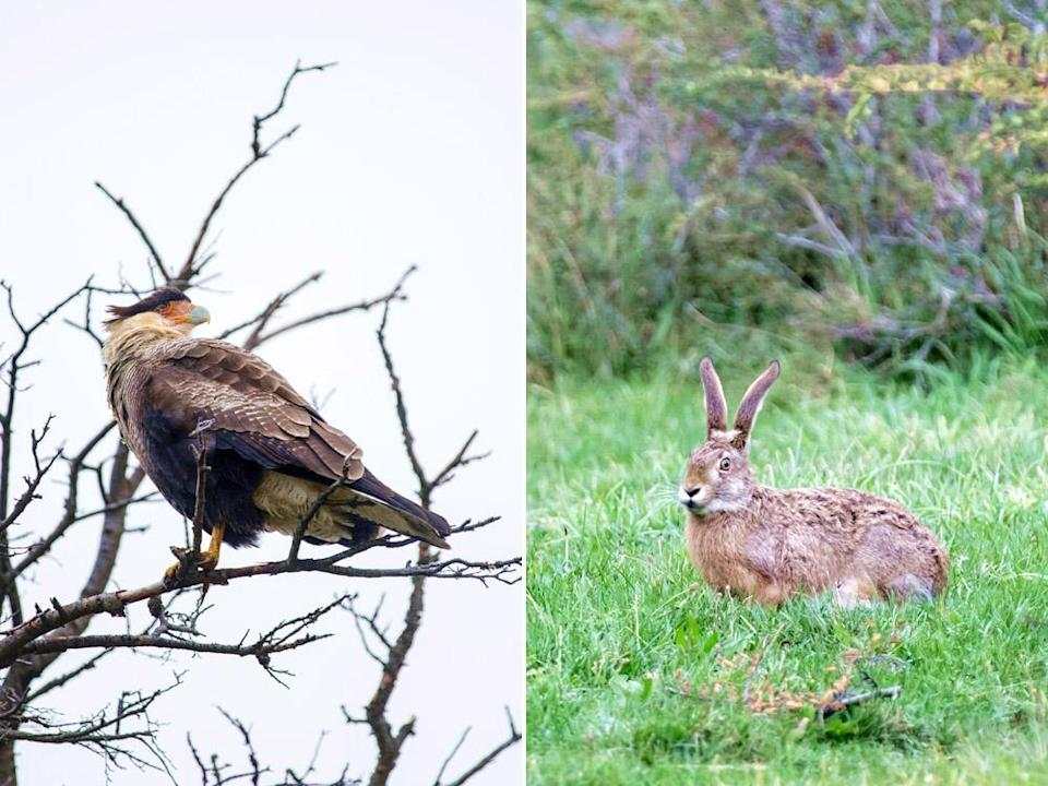 The southern crested caracara (left) will prey on a wild hare (right) if the opportunity arises.