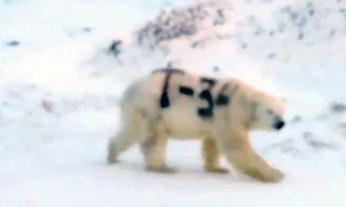 Sight of polar bear daubed with graffiti sparks outrage