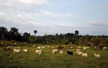 Cattle walk on a tract of Amazon rainforest that has been cleared by loggers and farmers near Virola-Jatoba PDS in Anapu