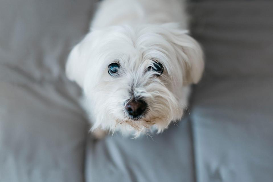 <p>Ironically, a Maltese is known for his long-hair but happens to be among the best low-shedding dog breeds, too. To maintain the silky white coat, bathe and brush your Maltese regularly, or keep his hair cut close to his body.</p>