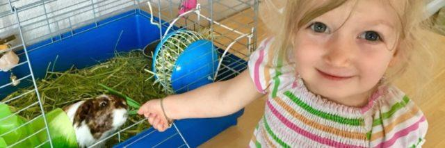 A little blonde girl is looking at the camera while she feeds her small guinea pig.