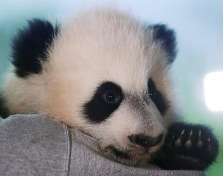 FILE PHOTO: Giant Panda cub Bei Bei is shown to the media at the Smithsonian National Zoo in Washington