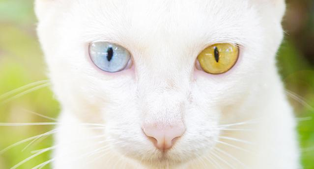 A white cat with heterochromia iridum. (Photo: Getty Images)