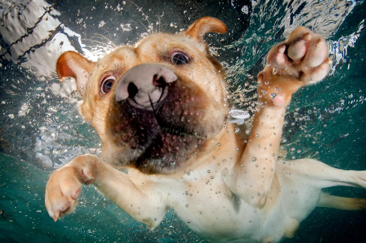 <p>A swiming golden Labrador searches for a ball. (Photo: Jonny Simpson-Lee/Caters News) </p>