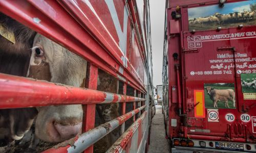 Animals farmed investigates: the huge global trade in live animals