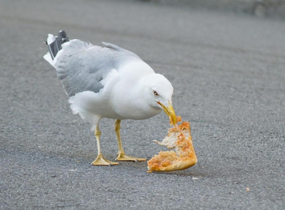 Seagulls have adapted to interrupt our picnics