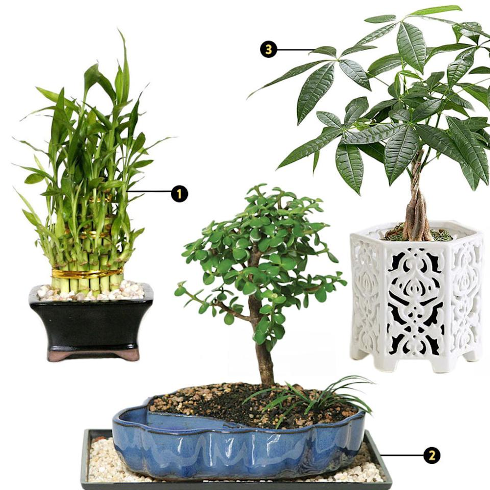 """<p><strong><em>1. Brussel's Bonsai Pyramid Bamboo, $26, <a rel=""""nofollow"""" href=""""http://www.homedepot.com/p/Brussel-s-Bonsai-Pyramid-Bamboo-DT-0139LBP2/100651687"""">homedepot.com</a>; 2. Brussel's Bonsai Dwarf Jade Bonsai, $40, <a rel=""""nofollow"""" href=""""http://www.homedepot.com/p/Brussel-s-Bonsai-Dwarf-Jade-Bonsai-in-Water-Pot-DT-9050WP/100651257"""">homedepot.com</a>; 3. ProFlowers Braided Money Tree, $35, <a rel=""""nofollow"""" href=""""http://www.proflowers.com/product/Braided-Money-Tree-30203997?trackingpgroup=bnt&ratings=0&reviews=0&productgroup=bnt&sk=&ref=organicgglunkwn&prid=pfseogu&viewPos=13"""">proflowers.com</a></em></strong></p><p>What's one common feng shui faux-pas that Carrillo sees in her clients' homes?  """"Dead flowers. I know some people think that's cool ... but it actually represents dead <em>chi</em> (or dead energy). It is really bad energetic symbolism.""""<span></span></p><p>However, fresh plants are still great for bringing in a lively, energetic mood. Since cut flowers have a short lifespan, it may be better to opt for hardier greenery. Carrillo continues, """"There's something called a money tree, which has long, thin leaves. And another great plant is the jade tree. They represent abundance and they're great to have in your home's prosperity corner, or on your desk.""""</p>"""