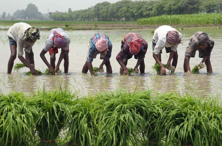 Indian labourers plant rice paddy cuttings in a field on the outskirts of Amritsar on July 5, 2014 (AFP Photo/Narinder Nanu)