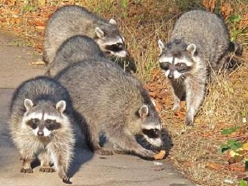 Raccoon Tumor Outbreak May Give Cancer Clues