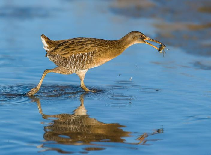 """<span class=""""caption"""">A clapper rail with a fiddler crab in its bill.</span> <span class=""""attribution""""><span class=""""source"""">Michael Gray</span>, <a class=""""link rapid-noclick-resp"""" href=""""http://creativecommons.org/licenses/by-nd/4.0/"""" rel=""""nofollow noopener"""" target=""""_blank"""" data-ylk=""""slk:CC BY-ND"""">CC BY-ND</a></span>"""