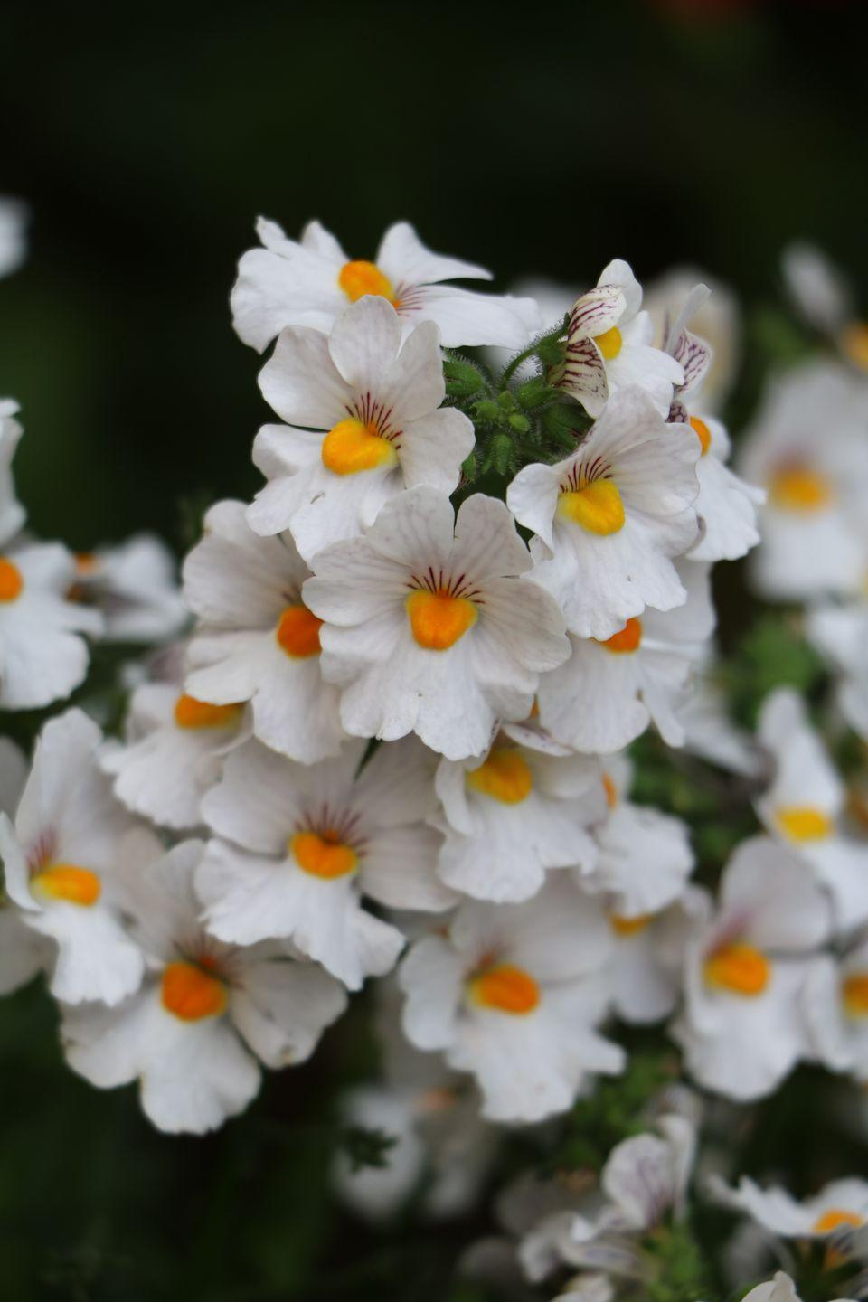 """<p>Tons of teeny flowers that resemble baby snapdragons flourish from spring to fall without deadheading (removing spent blooms). This annual tends to do better in pots, though it will tolerate well-drained soils in the garden or in raised beds. Nemesia likes part sun, but does okay in full sun in cooler climates.</p><p><a class=""""link rapid-noclick-resp"""" href=""""https://www.provenwinners.com/plants/nemesia/sunsatia-coconut-nemesia-hybrid"""" rel=""""nofollow noopener"""" target=""""_blank"""" data-ylk=""""slk:SHOP NEMESIA"""">SHOP NEMESIA</a></p>"""