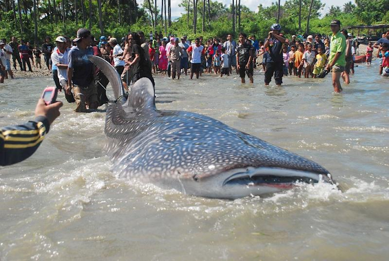 Villagers gather to watch as fishermen pull a trapped whale shark to shore in Palu bay in central Sulawesi in order to check its condition before releasing it (AFP Photo/ACHUN PALU)