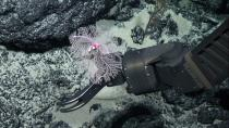 New Black Coral species discovery