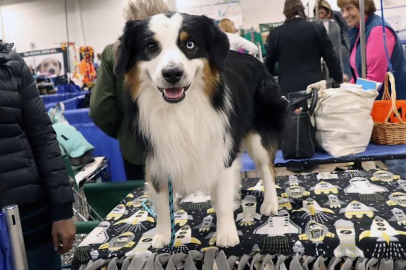 THE NATIONAL DOG SHOW PRESENTED BY PURINA 2019 -- Pictured: Miniature American Shepherd -- (Photo by: Nancy Schwartz/NBC/NBCU Photo Bank via Getty Images)