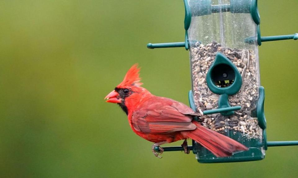 Northern Cardinal male on a feeder