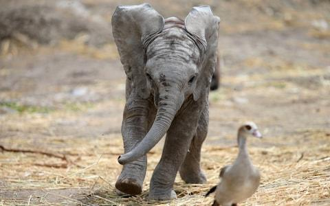 Baby elephants are highly social creatures - Credit:  REUTERS/EDGARD GARRIDO