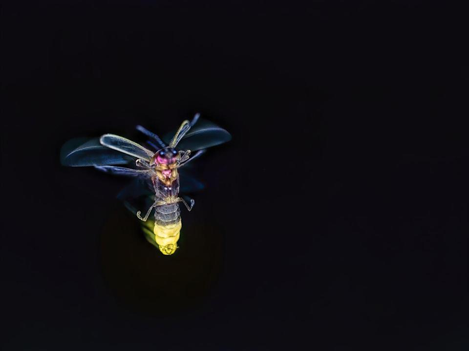 <p><strong>Say's Firefly</strong><br><br>Who doesn't love trying to collect these cool illuminated bugs in a mason jar? </p>