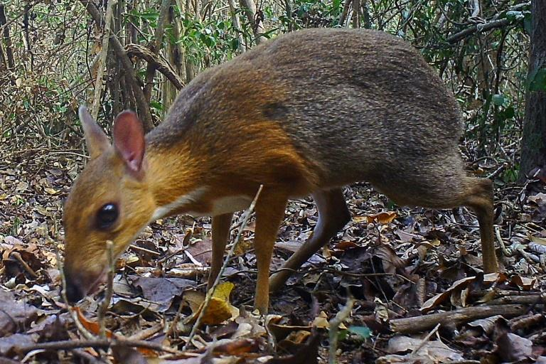 A still from a remote camera shows the Silver-backed Chevrotain -- long considered to be near-extinct -- in a forest in central Vietnam