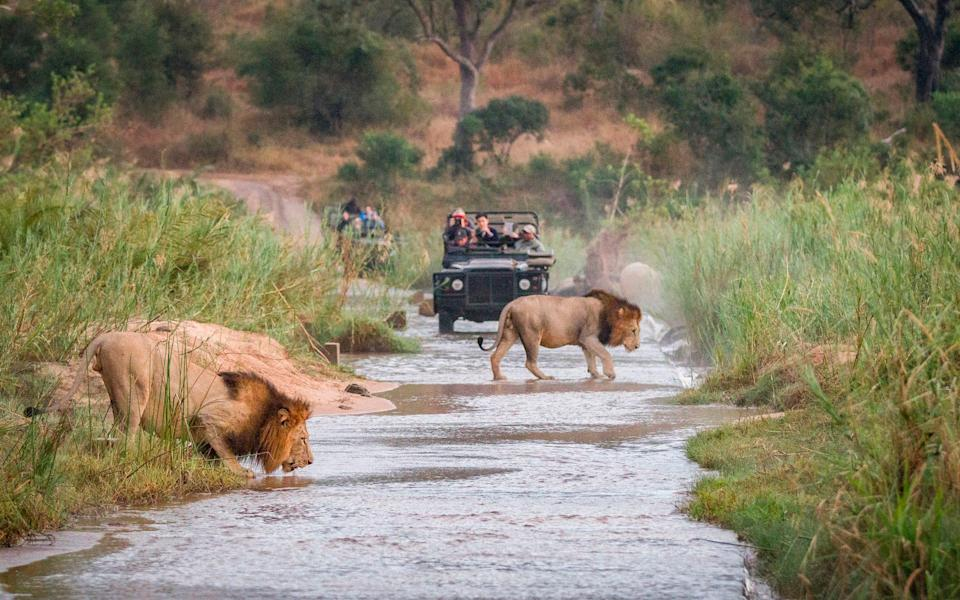 Lions crossing the road on safari in South Africa - Getty