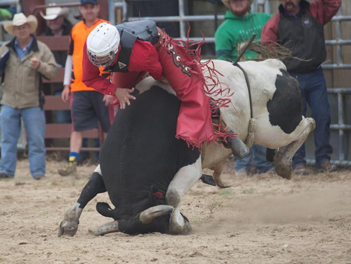 A bull lands on its face - the sort of occurrence that rodeo opponents say makes it too cruel to be allowed (SAFE NZ )