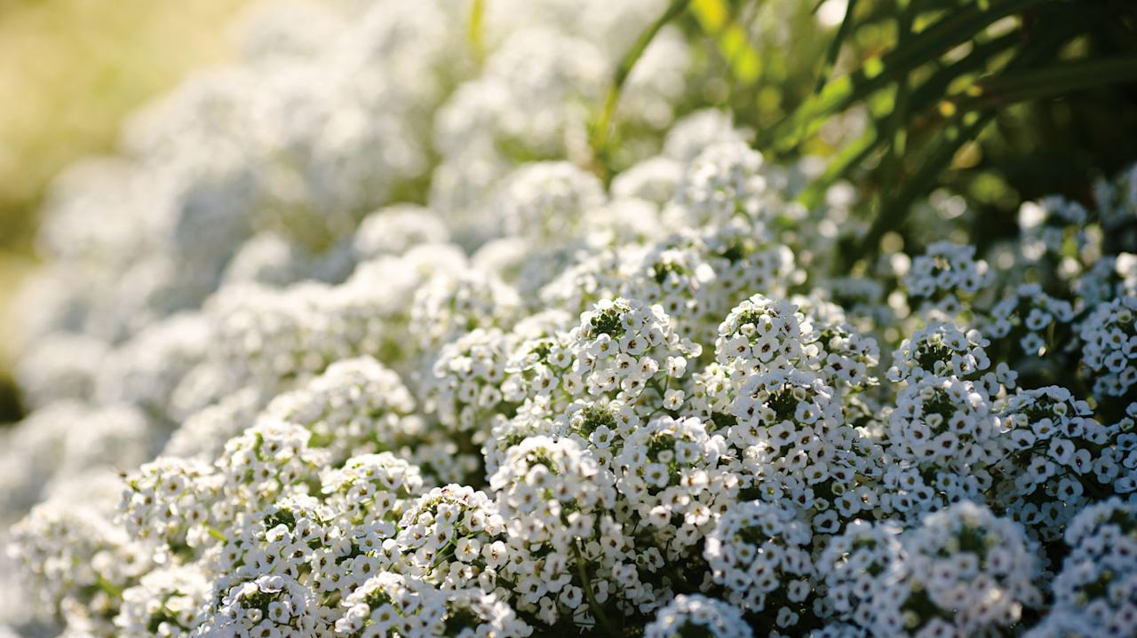 "<p>Tiny blooms on this delicate annual beckon to pollinators. Sweet alyssum looks lovely cascading from containers, window boxes and hanging baskets or tucked into a rock garden as a <a rel=""nofollow"" href=""http://www.countryliving.com/gardening/garden-ideas/how-to/g789/ground-cover-flowers-0509/"">flowering ground cover</a>. Likes full to part sun.</p><p><em>Try:</em></p><p>•<span></span><strong>Snow Princess</strong>: profuse white blooms all season long without deadheading</p><p>•<span></span><strong>Dark Knight</strong>: deep purple blooms pair well with other annuals in containers</p>"