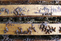 Honey bees work inside a hive near Iola, Wis., on Wednesday, Sept. 23, 2020. The hives belong to beekeepers James Cook and Samantha Jones. The couple has worked with bees for several years but started their own business this year — and proceeded with plans even after the coronavirus pandemic hit. (AP Photo/Carrie Antlfinger)