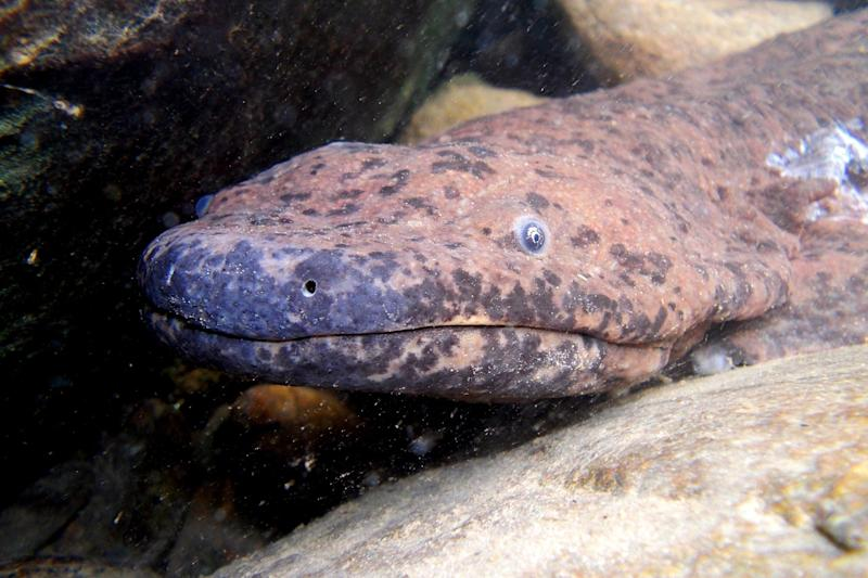 The giant salamander could be a distinct species: PA