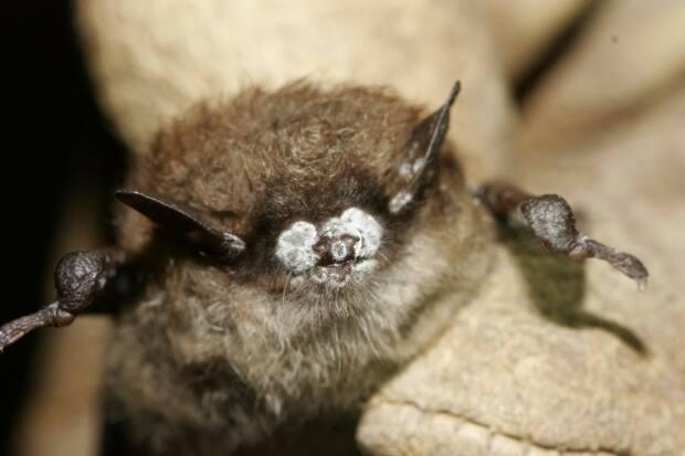 This bat has White Nose Syndrome, a fungal infection that has killed millions of bats across North America.