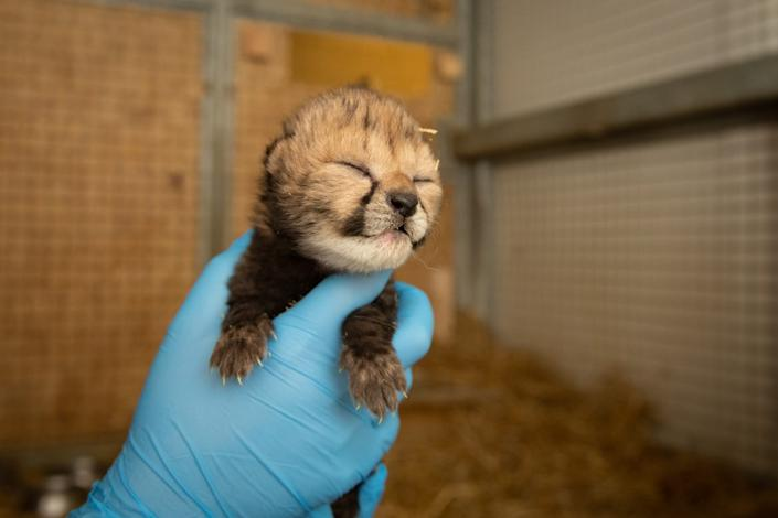 A worker at the Columbus Zo and Aquarium holds up one of two cheetah cubs recently born at the zoo.