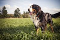 "<p>If you want a big, snuggly dog for your kids to play with, look no further than the <a href=""https://www.dailypaws.com/dogs-puppies/dog-breeds/bernese-mountain-dog"" rel=""nofollow noopener"" target=""_blank"" data-ylk=""slk:Bernese Mountain Dog"" class=""link rapid-noclick-resp"">Bernese Mountain Dog</a>. ""They're pretty quiet and well-mannered indoors as long as they get daily outdoor activity,"" says DiNardo. They're gentle, sweet, and are more than happy to goof around with their families.</p>"