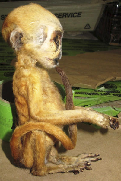 This photo released Monday, May 20, 2013, by U.S. Customs & Border Protection, shows a mummified primate known as a macaque, about six inches high, one of several contraband items seized by the agency at Los Angeles International Airport between May 6 and 10. Officials also seized elephant meat and hundreds of handbags made from the skin of snakes, lizards and crocodiles. The tiny dead macaque primate from Indonesia had been declared as a gift and was addressed to North Port, Fla. (AP Photo/U.S. Customs & Border Protection)
